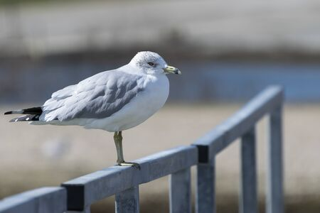 A single Ring Billed Gull standing on the metal rail of a lakeside pier with some of the water and shoreline in the background on a sunny afternoon.