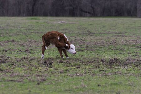 Cute young Polled Hereford bull calf standing on three legs as he uses one of his back legs to scratch an itch behind one of his ears. 版權商用圖片