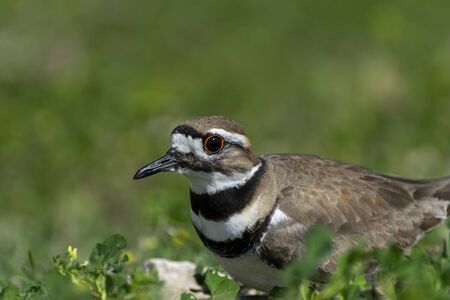 Closeup photo of a Killdeer bird with its distinctive stripes and orange ringed eyes sitting on its rocky nest surrounded by green clover and weeds. Stock Photo