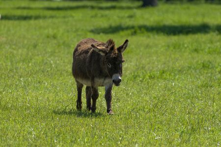 A cute, chocolate brown, fuzzy miniature donkey standing alone in a ranch meadow full of green grass on a sunny spring afternoon.