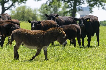 A cute, chocolate brown, fuzzy miniature donkey walking through a ranch pasture full of green grass as a herd of cows watch in the background. 免版税图像