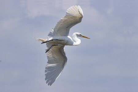 A beautiful White Egret bird soaring overhead with the sun shining through the feathers of its outspread wings.
