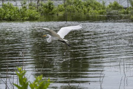 A Great White Egret with its long wings spread wide as it flies away just above the surface of a lake with submerged brush in the background.