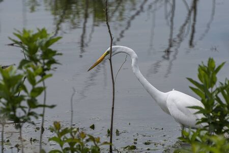 A Great White Egret pausing and staring down at the submerged weeds in a lake while hunting for food to eat.
