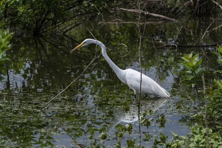 Great White Egret stalking prey in the weeds and sticks submerged in the waters of a flooded lake shoreline.