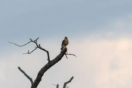Red-tailed Hawk looking out over the fields below from its perch at the top of a dead tree in the warm light shortly after sunrise.