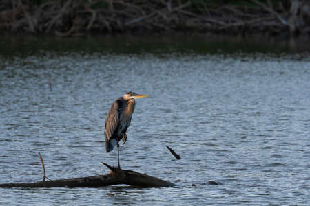 A Great Blue Heron standing on one leg on a submerged dead tree in a lake as the sun rises and casts a warm glow on the scene.