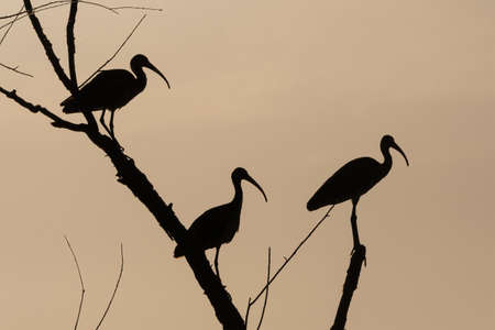 Three White Ibises silhouetted by the rising sunlight as they perch in the branches near the top of a dead tree on a summer morning.