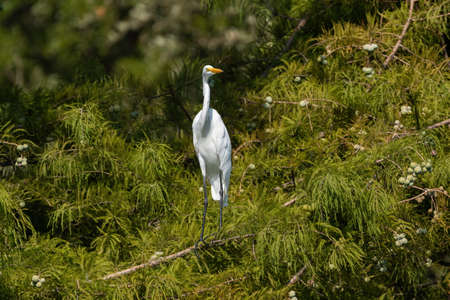 Great White Egret perched on a branch high in a cedar tree on a sunny morning.