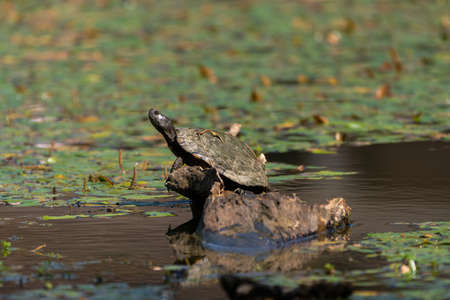 A Slider Turtle with its neck stretched out as is basks in the sun on a submerged stump in a pond filled with weeds on a sunny day. Stockfoto