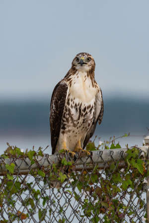 Closeup of a Red-tailed Hawk perched on a vine covered chain link fence and staring intently ahead with its beak slightly open.