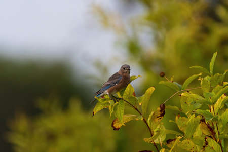 Tiny female Eastern Bluebird perched on a leaf covered branch of a Buttonbush plant with its leaves turning brown on a sunny morning. Stok Fotoğraf