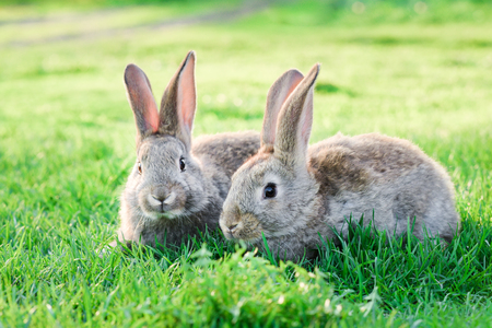 Image of two grey rabbits in green grass outdoor