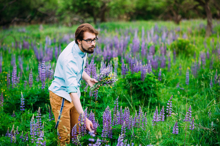 Lupines, lupine young guy picks flowers