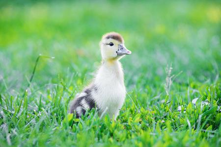Summer picture of a cute duckling walking in a summer garden. Duckling in grass