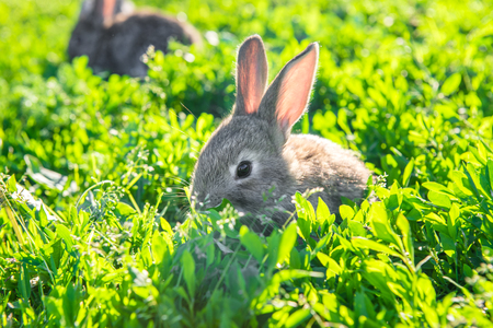 Fluffy rabbit sitting quietly in the fresh grass. Gray bunny rabbit on grass background