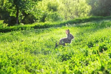 Small grey rabbit exploring the grass in a sunny garden