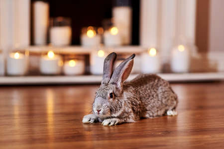 Beautiful gray rabbit chinchilla breed poses indoors with warm back light