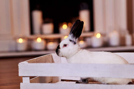 Beautiful californian rabbit breed sits in white wooden box indoors with warm back light.