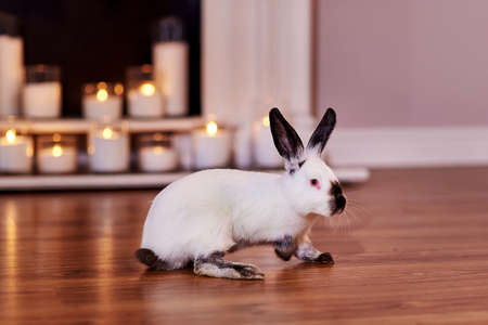 Beautiful californian rabbit breed poses indoors with warm back light Stock Photo