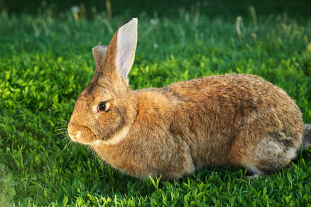 Flemish Giant rabbit, gray, brown natural color in green grass outdoor Banque d'images