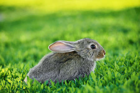 Cute adorable gray rabbit sitting on green grass lawn at backyard. Small bunny sitting at meadow in green garden on bright sunny morning. Easter nature and animal bokeh background