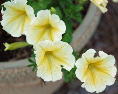 A rare yellow petunia in a garden pot