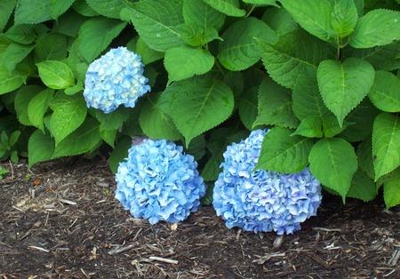 Blue Hydrangea Flowers in Bloom on a Bright Bush