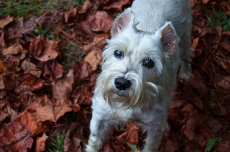 Cute white dog standing in the colorful fall leaves. Pretty miniature schnauzer looks adorable in the autumn leaves. Stock Photo