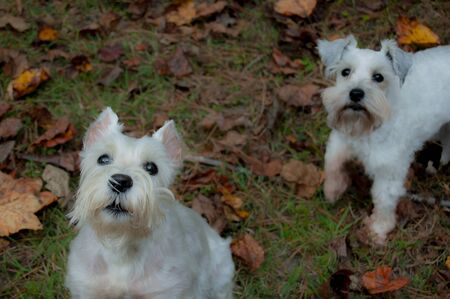 Friendly white dog with white miniature schnauzer in background. Two friendly dogs playing in autumn leaves. Stock Photo