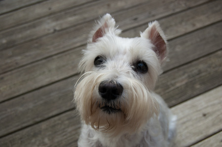 Beautiful white mini schnauzer sitting on wooden deck. Close up image of small white dog. Copy space.