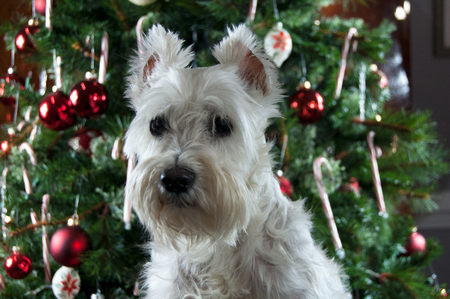 Happy New Year. Merry Christmas. Cute white dog sitting by decorated Christmas tree. Pretty miniature schnauzer.