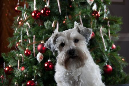 Merry Christmas. Happy New Year. Small white dog by decorated tree. Miniature schnauzer puppy sitting by green pine tree decorated with red ornaments and candy canes.