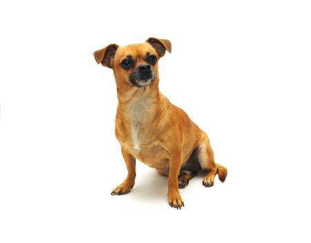Chihuahua Stock Photo - 2248517