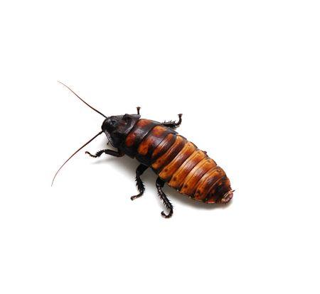 hiss: Madagascar Hissing Cockroach