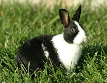 dutch: Dutch Bunny
