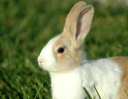 Dutch Bunny Stock Photo - 2283183