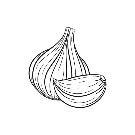 garlic clove: Garlic.  garlic and clove illustration isolated on white background Illustration
