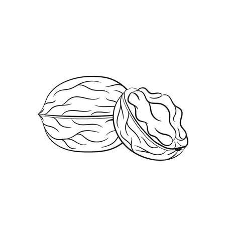 walnut: Walnut. Illustration