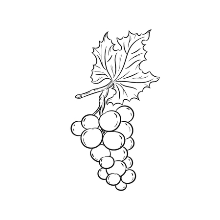 raceme: Grapes. Vector hand drawn illustration of grapes on the branch on white background