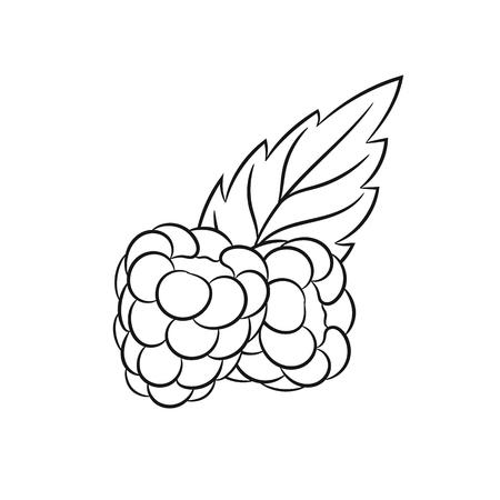raspberries: Raspberries. Vector hand drawn raspberries illustration isolated on white background