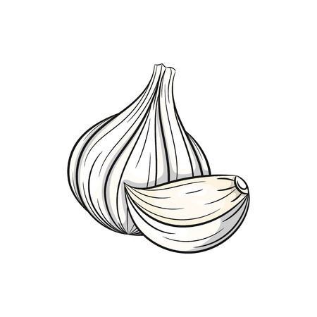 Vector garlic illustration. Clove of garlic, garlic isolated on white background. Vector sketch hand drawn
