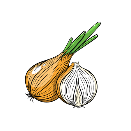 onion isolated: Vector onion illustration. Slice of onion, onion isolated on white background. Vector sketch hand drawn