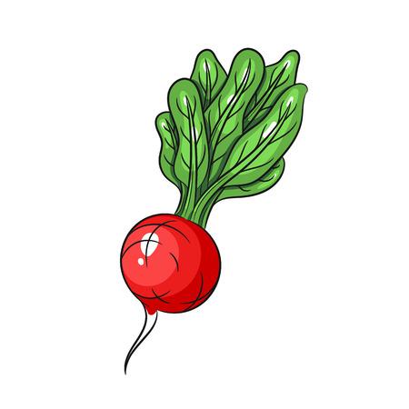 radish: Vector radish illustration. Radish isolated on white background. Vector sketch hand drawn