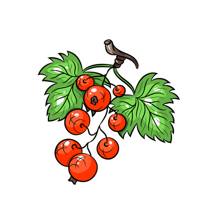 currant: Vector red currant illustration. Currant with leafs isolated on white background. Vector sketch hand drawn fruit Illustration