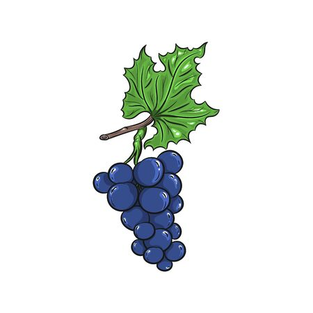 grapes in isolated: Vector grapes illustration. Grapes isolated on white background. Vector sketch hand drawn fruit