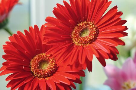 macro red flower gerbera photo