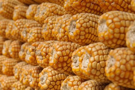 Dried sweetcorn cobs stacked together  Shot with a shallow depth of field focusing on foreground