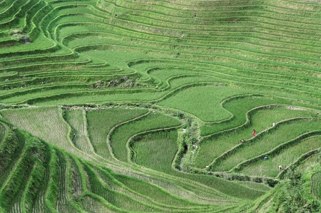 Farmers working in the rice fields of Guilin  Longsheng rice terraces, Guangxi province, China  Stock Photo