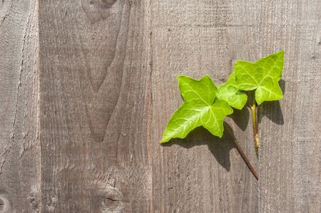 Ivy leaves growing out of a wooden garden fence Stock Photo